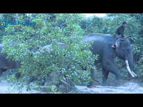 Dua Gajah Jinak Berhasil Mengevakuasi Gajah Liar