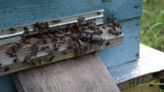 Битва пчел с жуком-оленем.