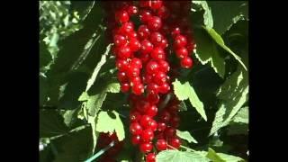 Выращивание смородины и крыжовника на шпалере