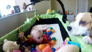 Cute Dog Surprised Little Baby And Created Ball Party In Her Crib. Cute Beagle And Baby Video