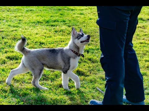 Puppies, Alaskan malamute dogs, puppy videos, puppies playing, puppy baby