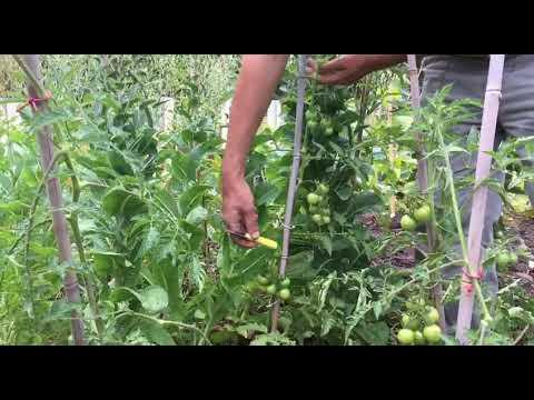 Die Tomate wächst uns über den Kopf hinaus