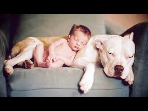 American Pitbull Terrier - Dog breeds info ( funny, dog training tips, myths of the dog fight)