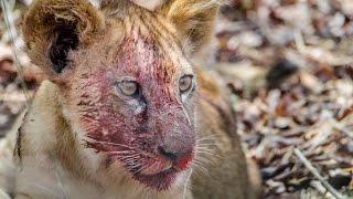 paraplegic lion cub struggle to survive   مشلول شبل الأسد