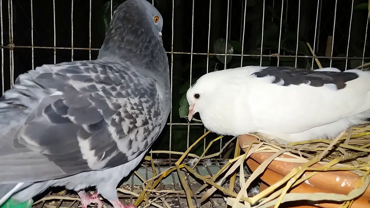 Cute Pigeon Cooing Cuddling Sound 🤗😅🤭 🧡💛💚 - YouTube