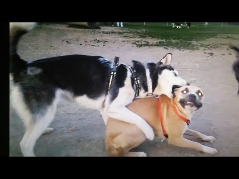 Brown Dog Stands Up To Bully Husky At Dog Park