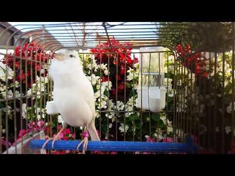 Best canary singing beautiful