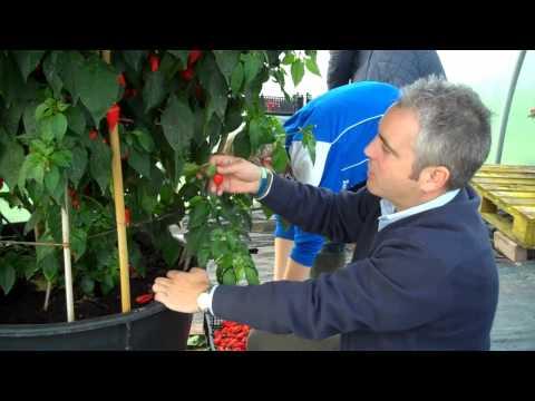 Picking 2,407 chillies off a Dorset Naga plant