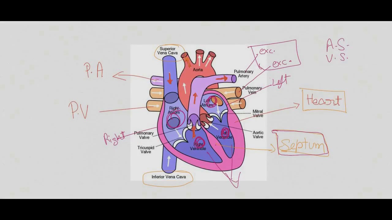 Human heart structure and function class 1012 youtube human heart structure and function class 1012 ccuart Image collections