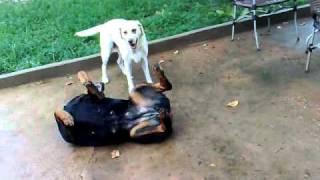 Rottweiler X Labrador