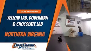 Yellow Lab, Doberman, And Chocolate Lab!  Dog Training Northern Virginia, Dc, Maryland