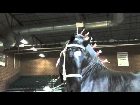 hqdefault world percheron supreme champion youtube