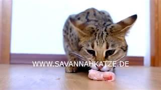 F1 Savannah Cat devours a chicken wing (hazardous eating sound)