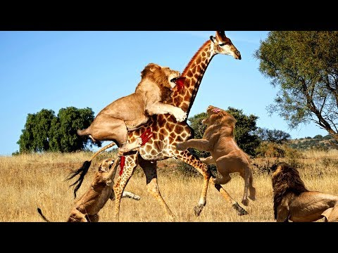 Thumbnail: LIVE: Wild Animals Real Fight 2017 - Amazing Wild Animals Attacks