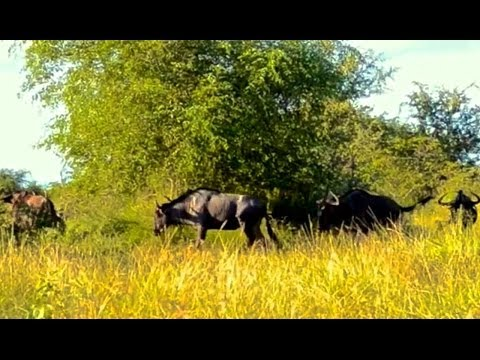 These Wildebeest Are Totally Lost And Confused :) - Latest Wildlife Sightings