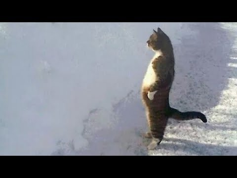 Quand les Chats ont un Comportement Humain