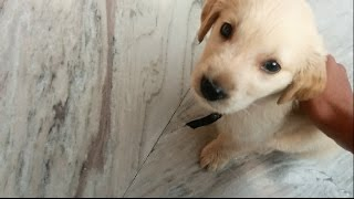 Cesar : Golden Retriever Puppy | 2 Months Old | Most Obedient Puppy!!