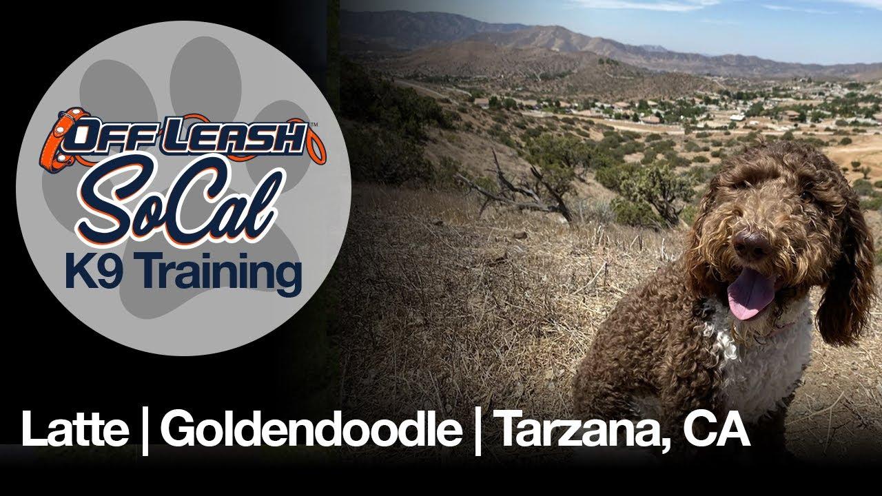 Latte | Goldendoodle | Tarzana, CA