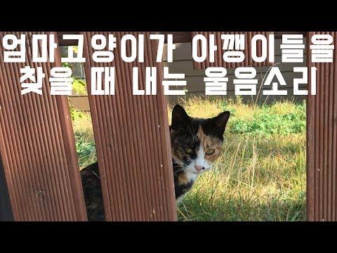 엄마 고양이가 아깽이들을 찾을 때 내는 울음소리 calico mama cat & kittens / 째폴보&프렌즈
