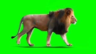 Male Lion Walking on Green Screen | Loop