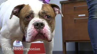"""Koda Bear"" available to adoption at the Bloomington Animal Shelter"