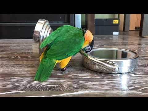 Parrot Caique Martin Play With Mirror / Попугай каик Мартин напал на зеркало