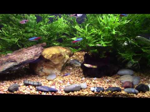 Endler's Guppies Chase My Flagfish