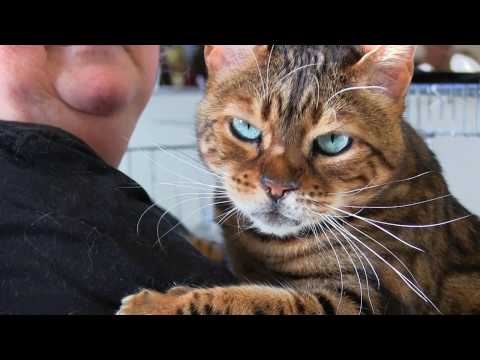Bengal Cat Show. Cricklade. November 2016.