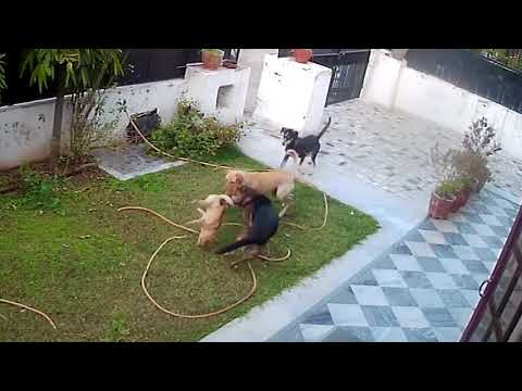 Gang of street dogs attacked pet dog. No mercy. Tragic ending.