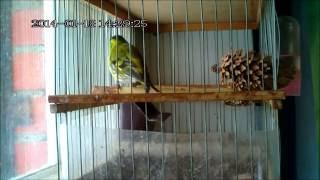 Пение лесных птиц -чиж (англ.siskin) ( лат.Carduelis spinus)