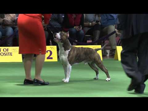 American Staffordshire Terrier Westminster Kennel Club Dog Show 2016