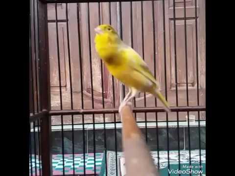Download Lagu Suara burung Kenari juara