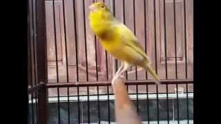 Download Suara burung Kenari juara