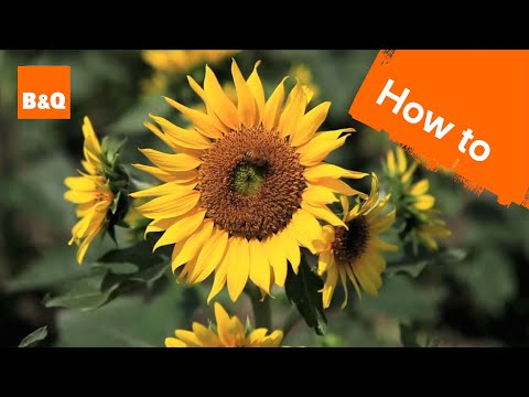 How to grow & harvest sunflowers