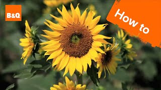 How to grow & harvest sunflowers