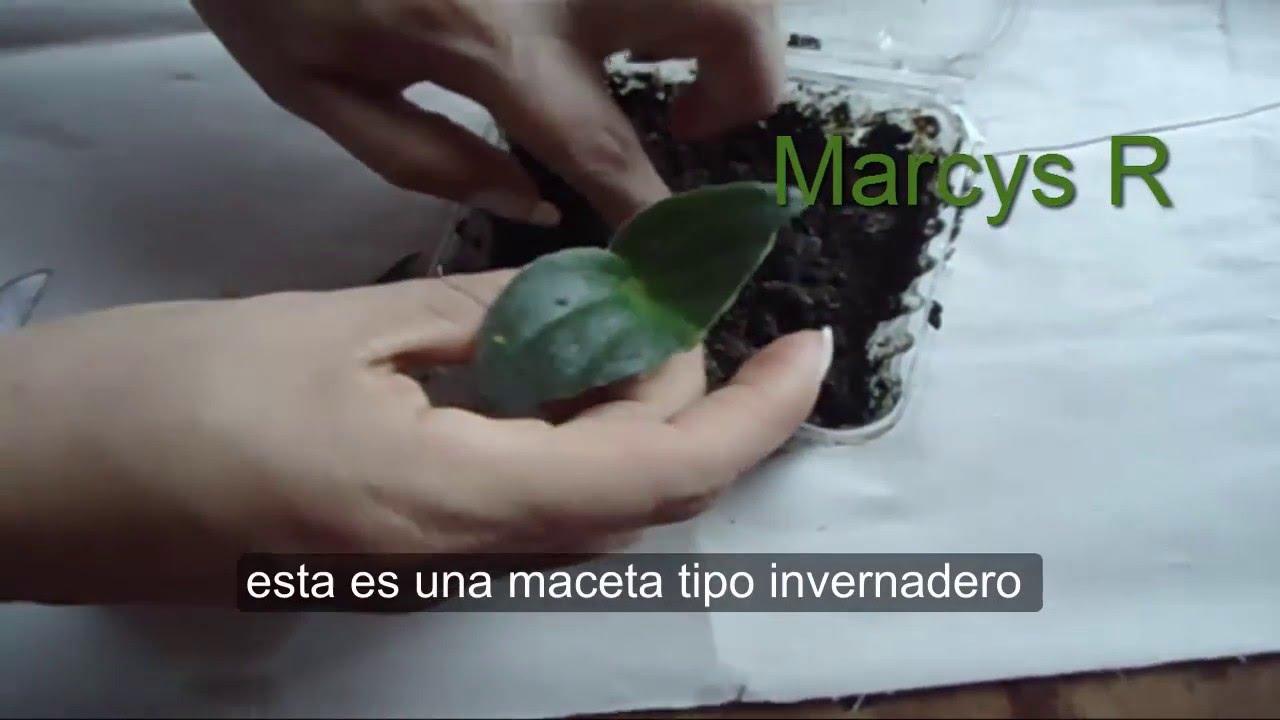 Violetas africanas reproduccion asexual de las plantas