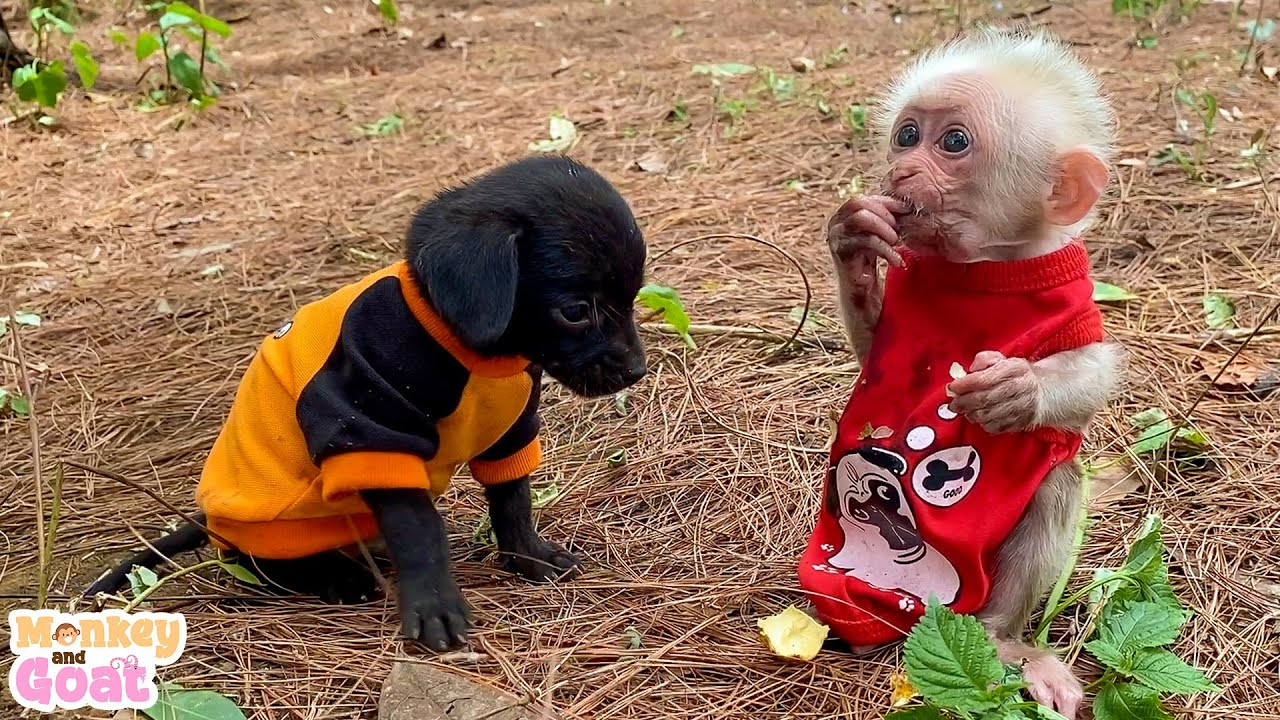 Baby monkey play happily with puppies