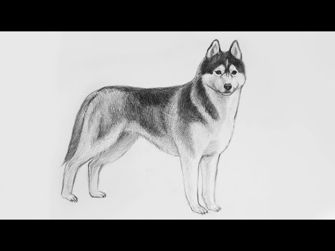 Уроки рисования. Как нарисовать СОБАКУ ХАСКИ карандашами Erich Krause поэтапно