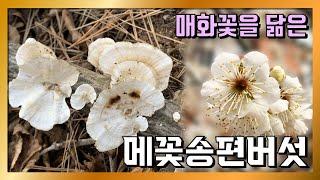 강원도 평창 야생버섯 산행 메꽃송편버섯 CUT - 11…