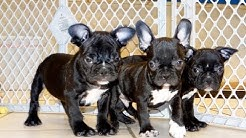 French Bulldog, Frenchie, Puppies, Dogs, For Sale, In Chandler, County,  Arizona, AZ, 19Breeders
