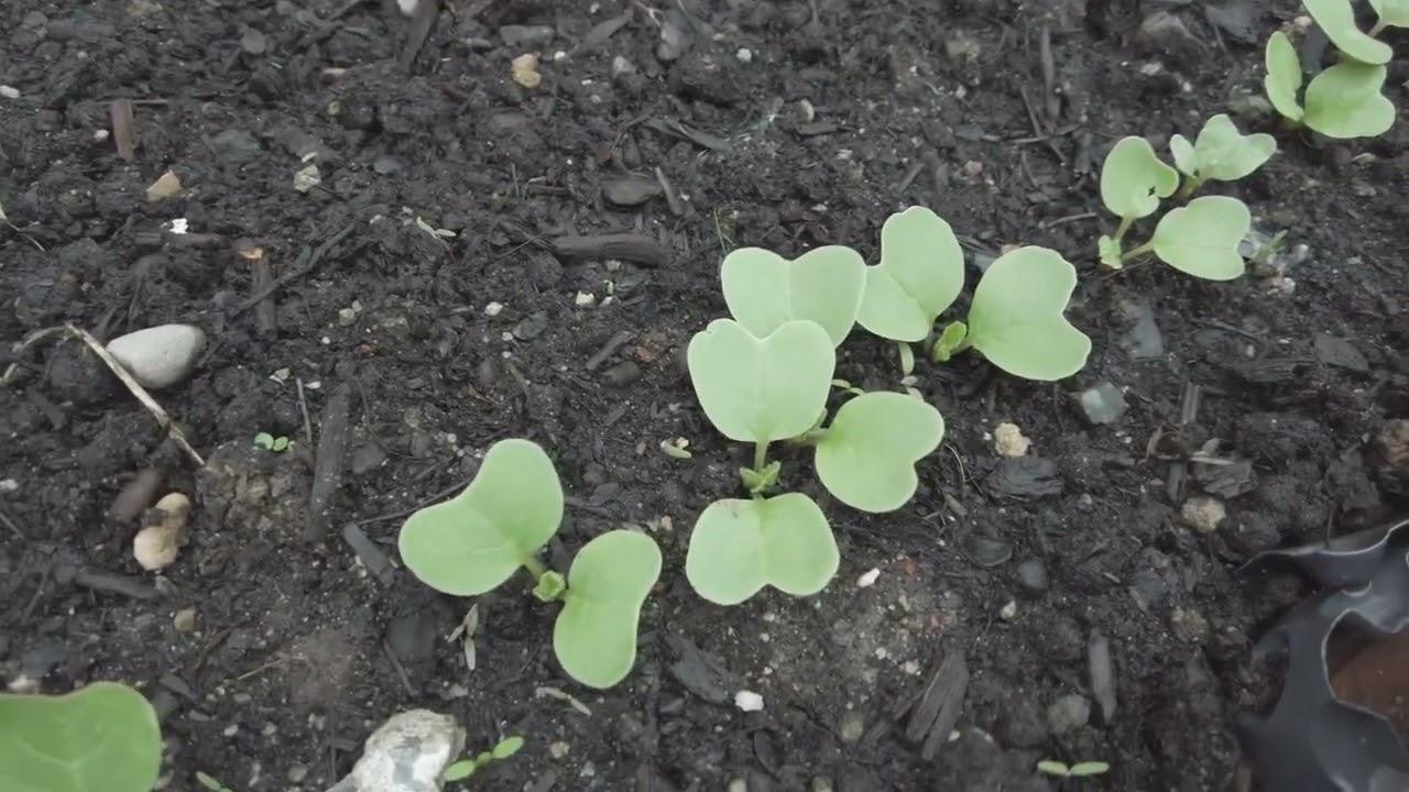 Velká série Lu zahradníkem: 5. díl: Závlaha a pokroky