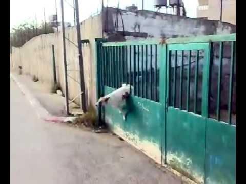 poor arab dog.mp4