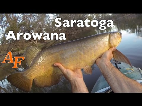 Kayak Fishing Saratoga Big Fish Australian Arowana Andysfishing Andy's Fishing Video EP.256