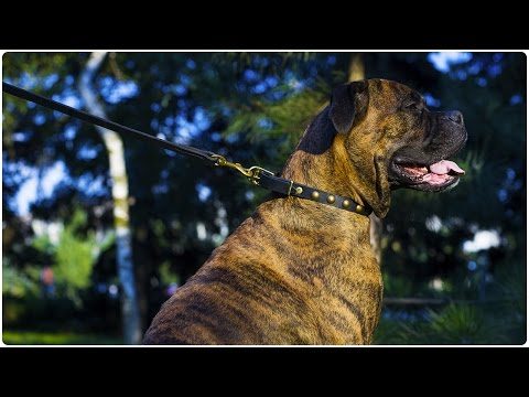 Boxer looks great in Elegant Studded Leather Dog Collar for Walking and Basic Training