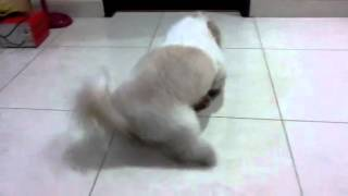 Shih Tzu Angry Barking Loudly With His Toy