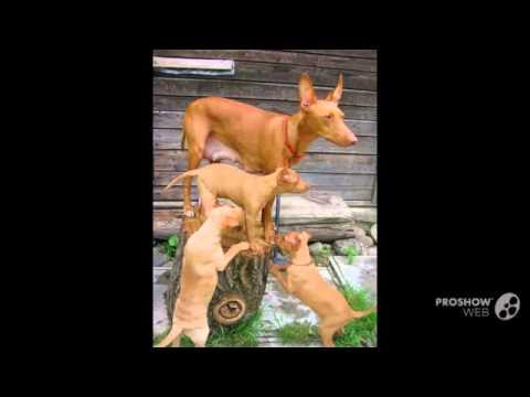 Чирнеко дель этна порода собак