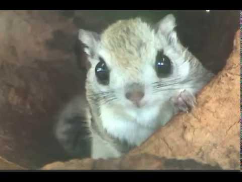 つぶらな瞳、エゾモモンガ(円山動物園) Russian Flying Squirrel Youtube