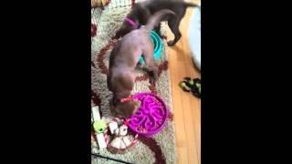 Puppies Eat While Spinning in Circles