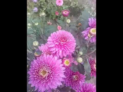 """Хризантема """"Английская розовая (Алёнушка)"""