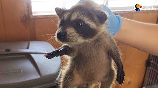 LIVE: Rescued Baby Raccoon Gets a Bath | The Dodo LIVE